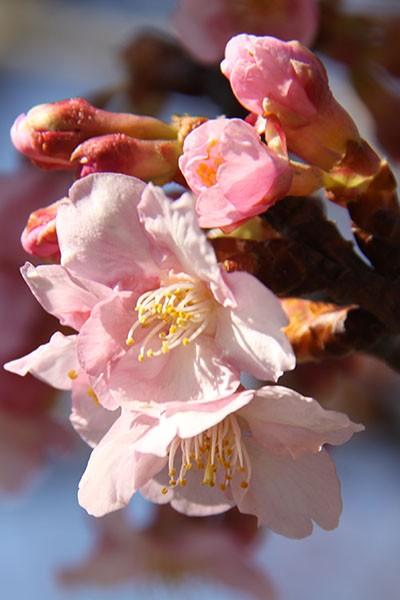 しらこ温泉桜まつり